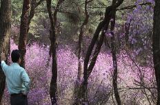 """""""세종대왕릉 진달래 동산에서 봄 정취 느껴보세요"""""""