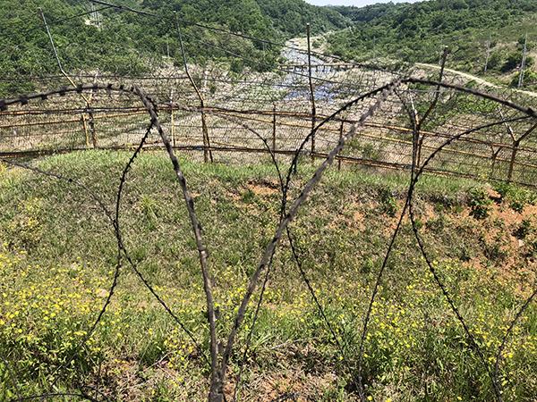 씀바귀 꽃이 비무장지대 곳곳에 지천으로 폈다. 이중 철책 너머로는 역곡천이 보인다.