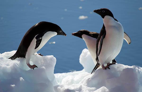 남극 장보고고기지 주변에서 아델리 펭귄 세마리가 노닐고 있다.(사진=저작권자(c) 연합뉴스, 무단 전재-재배포 금지)