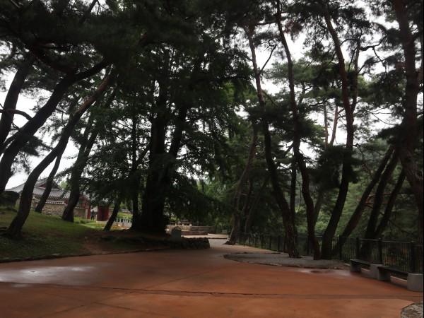 소수서원으로 가는 길목에 있는 솔밭길
