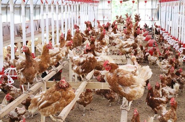 자연방사하여 닭을 키우는 사육환경 번호 1인 가평군 이화농장의 닭의 표정이 행복해 보인다.
