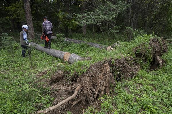 9일 경기도 남양주시 광릉숲에서 국립수목원 관리자들이 태풍 '링링'으로 쓰러진 전나무를 정리하고 있다. (사진=저작권자(c) 연합뉴스, 무단 전재-재배포 금지)