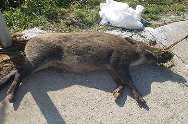 최전방 야생멧돼지 포획, 80개 민관군합동팀 투입