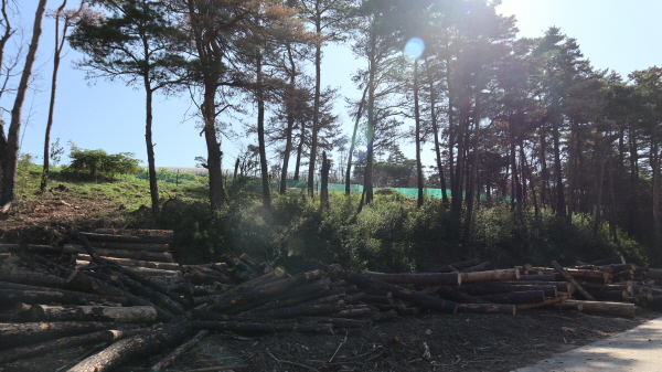 불에 타 그을려 벌목된 채 모아 놓은 소나무가 아니면 불에 탄 흔적도 쉬이 찾기 힘들 정도로 복원이 됐다.