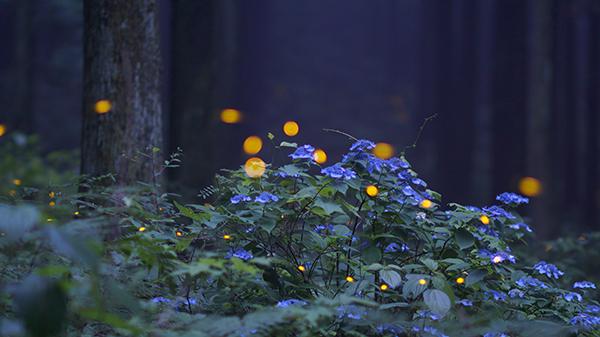 산수국과 운문산 반딧불.