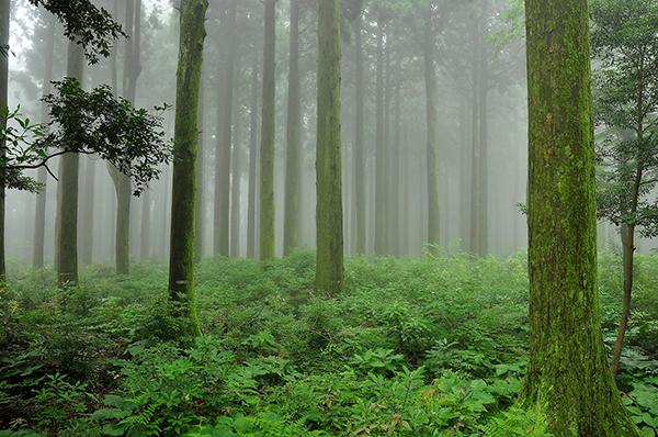 사려니숲의 삼나무 전시림.