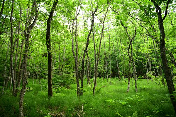 점봉산의 들메나무림.