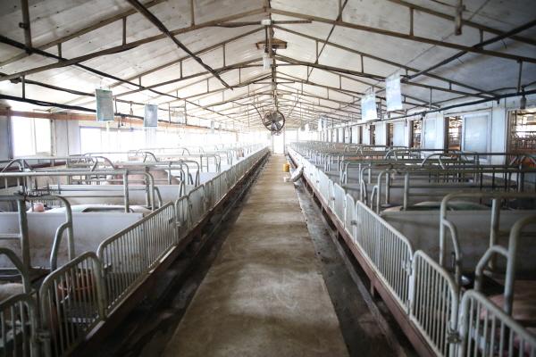 깨끗하게 환경 개선이 된 돈사에서 돼지 사육의 전 과정이 깨끗하게 관리된다.(사진=대한한돈협회)
