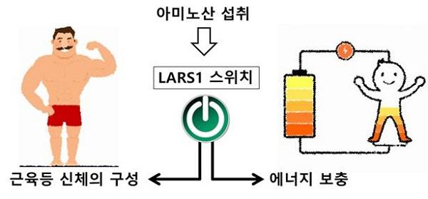 LARS1 효소의 역할