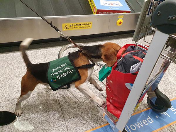 검역 탐지견이 여행객의 휴대품을 검사하고 있다. 가방에는 녹색 전자태그가 부착돼 있다.