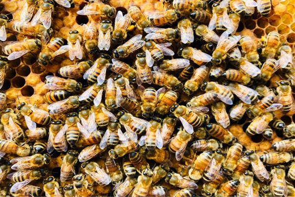 도시양봉장을 운영하는 비컴프렌즈가 체취한 꿀벌들의 모습. <사진=비컴프렌즈 제공>