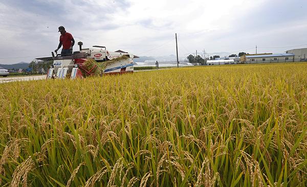 강원 춘천시 우두동 논에서 농부들이 누렇게 익은 벼를 추수하고 있다.(사진=저작권자(c) 연합뉴스, 무단 전재-재배포 금지)