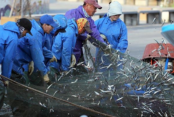 부산 기장군 기장읍 대변항에서 어부들이 구성진 노랫가락에 맞춰 그물에 걸린 멸치를 털고 있다.(사진=저작권자(c) 연합뉴스, 무단 전재-재배포 금지)