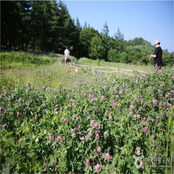 만항재는 '환상의 화원'으로 불리는 야생화 꽃밭