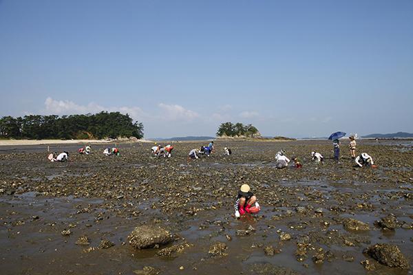 충남 태안 용신어촌체험마을에서 갯벌체험에 참여한 가족들이 바지락을 캐고 있다.(사진=정책브리핑 포토)