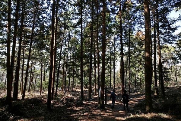 도솔봉에서 내려오면 만나는 싱그러운 해남 달마산 삼나무 숲길.(사진=저작권자(c) 연합뉴스, 무단 전재-재배포 금지)