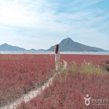 강화나들길16코스 창후리선착장 뒷쪽으로 펼쳐진 붉게물든 칠면초