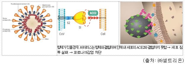 항체가 있을 경우, 바이러스는 항체와 결합하여 인체 내 세포의 ACE2와 결합하지 못함 → 세포 침투 실패 → 코로나19감염 차단