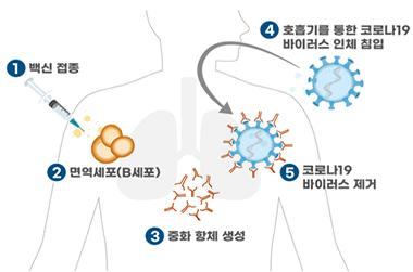 백신 접종에 의한 코로나19 예방 원리.