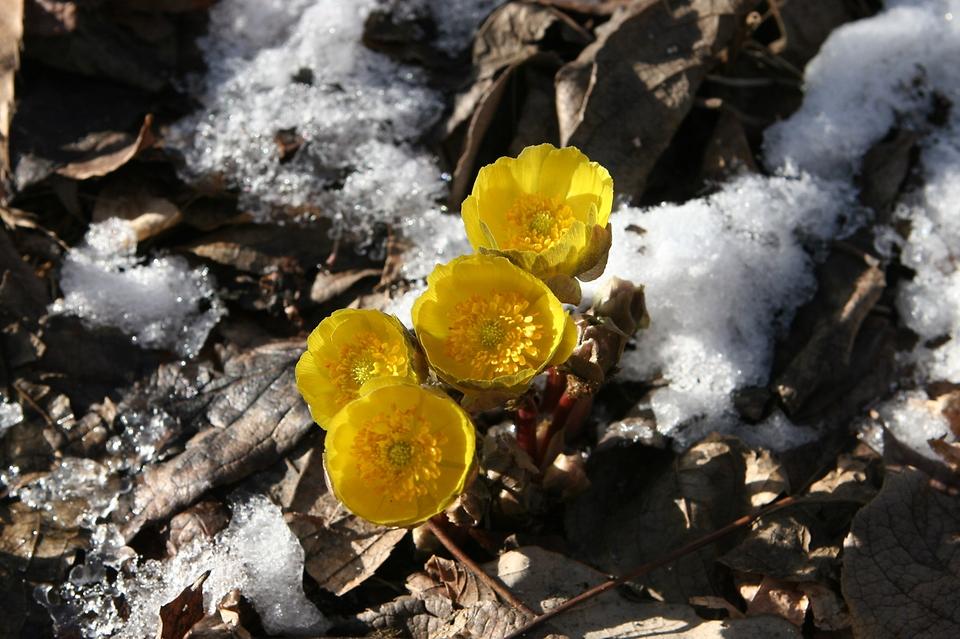 봄을 알리는 꽃 '복수초' 1월에 폈다!