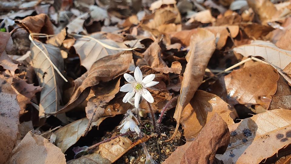봄을 알리는 꽃 '노루귀' 활짝 폈다!