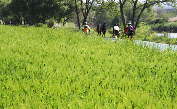 완연한 봄 날씨를 보인 3일 오후 경기도 성남시 탄천에서 자전거를 탄 시민들이 초록으로 물든 청보리밭 옆을 지나고 있다.