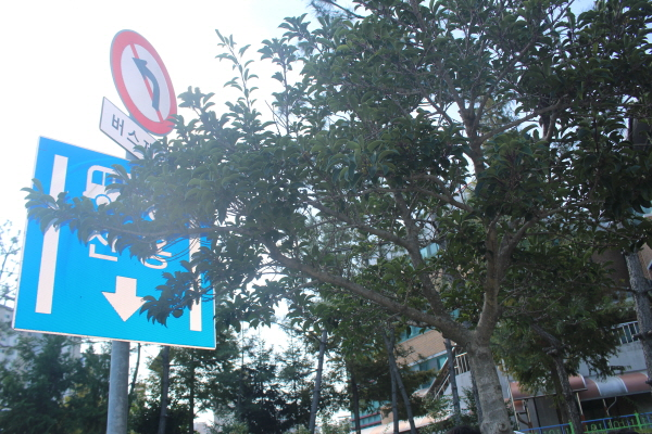 운전자의 시야와 교통안전표지를 가리는 가로수.