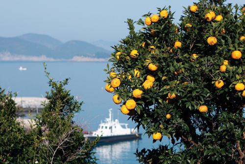 바람에 진한 향기를 흘리는 함구마을의 유자나무.
