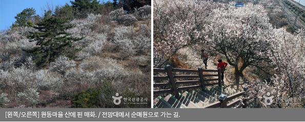 [왼쪽/오른쪽] 원동마을 산에 핀 매화 / 전망대에서 순매원으로 가는 길