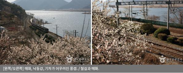 [왼쪽/오른쪽] 매화, 낙동강, 기차가 어우러진 풍경 / 철길과 매화