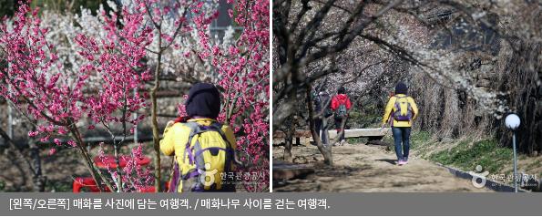[왼쪽/오른쪽] 매화를 사진에 담는 여행객 / 매화나무 사이를 걷는 여행객