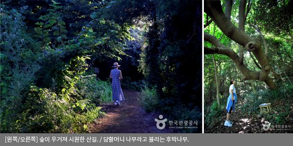 [왼쪽/오른쪽]숲이 우거져 시원한 산길 / 당할머니 나무라고 불리는 후박나무