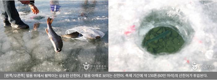 [왼쪽/오른쪽]얼음 위에서 펄떡이는 싱싱한 산천어 / 얼음 아래로 보이는 산천어. 축제 기간에 약 150톤(60만 마리)의 산천어가 투입된다.