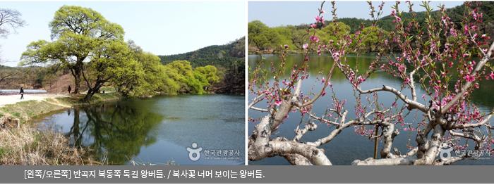 [왼쪽/오른쪽]반곡지 북동쪽 둑길 왕버들 / 복사꽃 너머 보이는 왕버들