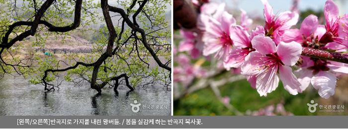 [왼쪽/오른쪽]반곡지로 가지를 내린 왕버들 / 봄을 실감케 하는 반곡지 복사꽃