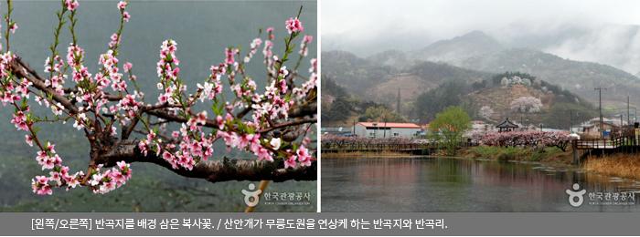 [왼쪽/오른쪽]반곡지를 배경 삼은 복사꽃 / 산안개가 무릉도원을 연상케 하는 반곡지와 반곡리