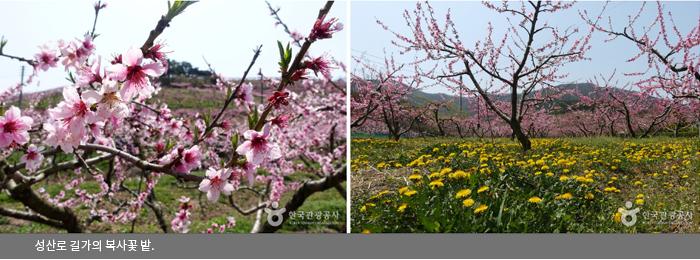 성산로 길가의 복사꽃 밭