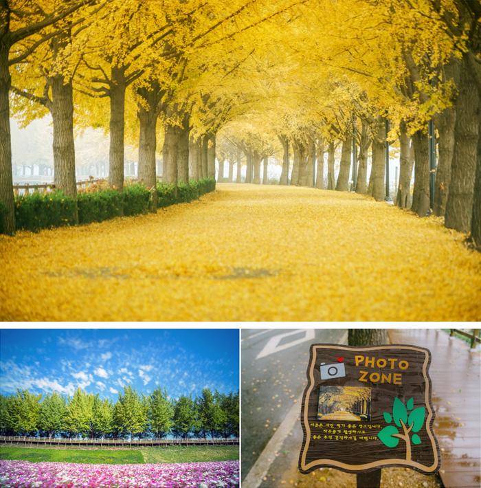 아산 은행나무길 은행나무 문화예술의 거리 이미지