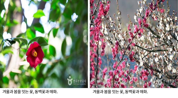 겨울과 봄을 잇는 꽃, 동백꽃과 매화, 겨울과 봄을 잇는 꽃, 동백꽃과 매화