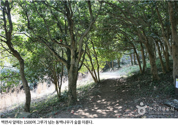 백련사 앞에는 1500여 그루가 넘는 동백나무가 숲을 이룬다.