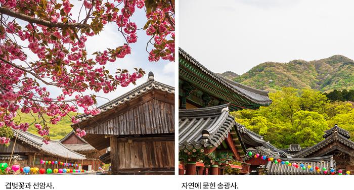 겹벚꽃과 선암사, 자연에 묻힌 송광사