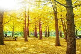 원적산 은행나무숲