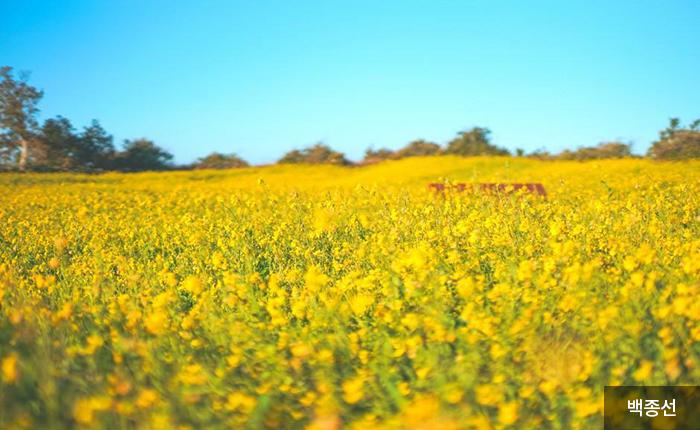 화사한 봄을 알리는 노란 유채꽃 파도 - 백종선