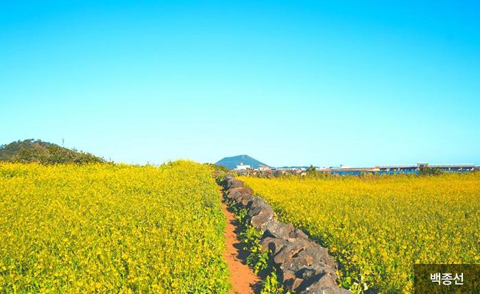 유채꽃 사이로 걸을 수 있는 좁은 길 - 백종선
