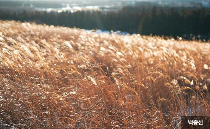 바람에 출렁이는 황금빛 억새 물결 - 백종선