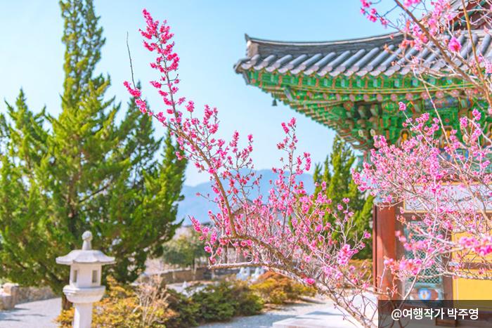 활짝 핀 분홍빛의 홍매화 - 여행작가 박주영