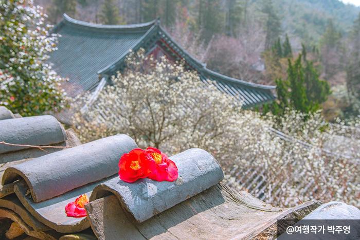 기와 위에 놓인 빨간 동백꽃 - 여행작가 박주영