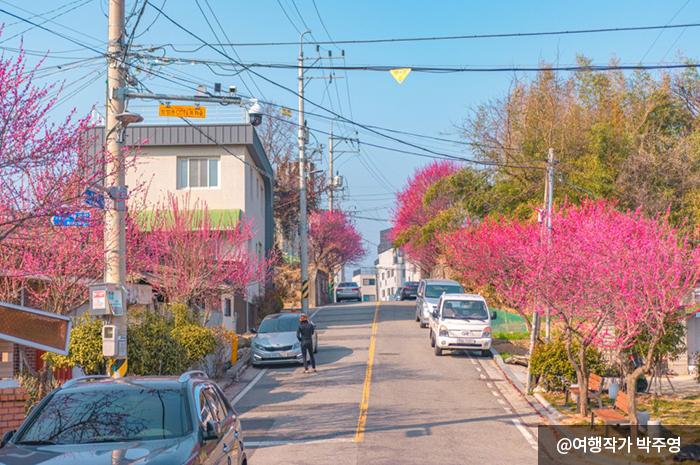 길 옆으로 붉은 홍매화가 가득하다 - 여행작가 박주영