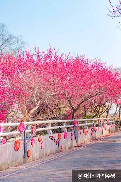 2월 말부터 3월 내내 볼 수 있는 붉은 홍매화 - 여행작가 박주영