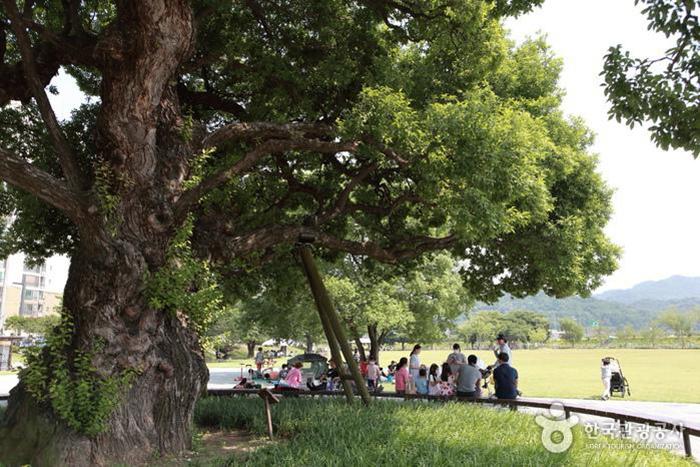 왕버들 50여 그루가 시원한 그늘을 드리우는 성주 경산리 성밖숲 - 한국관광공사